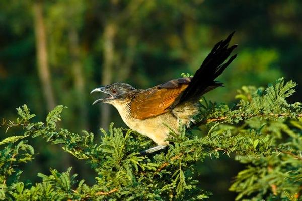 Burchell s Cuckool Kruger Park 050416 004
